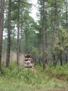 Loblolly pine harvest